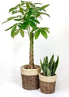 観葉植物 8号+6号セット パキラ8号・サンスベリア6号