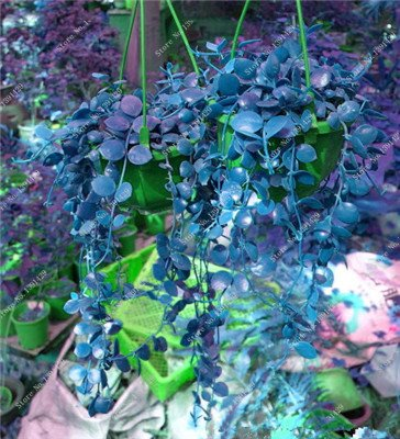 Multi Color Seed 100% Vrai Parthenocissus tricuspidata Seed, japonais Creeper Flowerpot Seed Pack Professionnel 20 Pcs / Sac 3