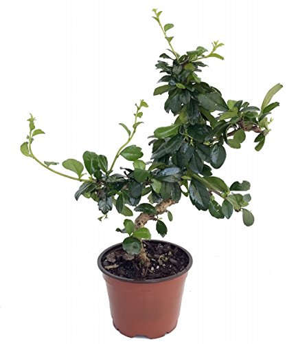 Stylized Imported Fukien Tea Bonsai Tree or House Plant - Carmona - 4' Pot