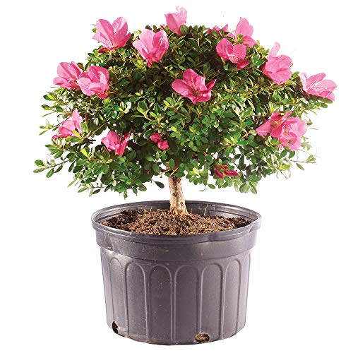 Brussel's Bonsai Live Azalea Outdoor Bonsai Tree - 8 Years Old 12' to 14' Tall with Plastic Grower Pot, Large,