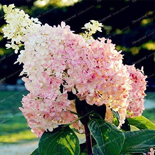 1: 10Pcs Vainilla Fresa Hortensia Semillas de flores para la siembra en el hogar Perenne Al aire libre Interior Bonsai Etc Fácil de cultivar Semillas de flores