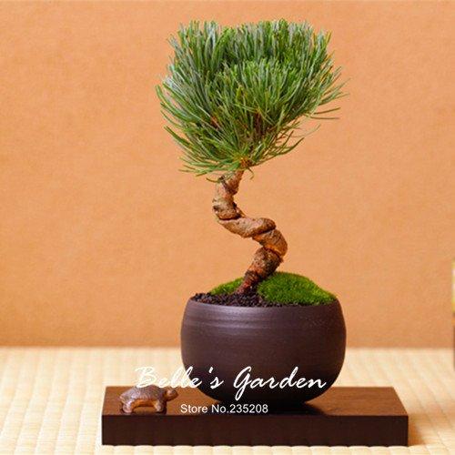 Variété mixte Bonsai Jardinerie Ornement créatif plante Bonsaï Graines jardin Plante en pot bricolage 20pcs Pine Tree