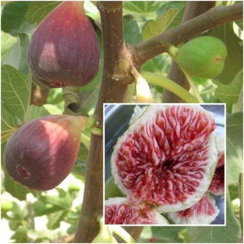 La figura 20 Semillas, Ficus carica, semillas, frutas de la higuera de Semillas, Plantas de jardín RARO
