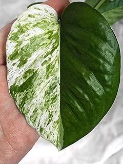 1 Snow Queen Pothos Plant Cuttings - Live House Plants Variegated Plants