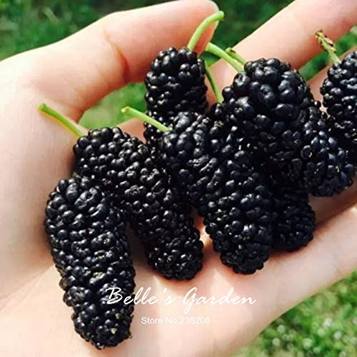 100pcs noir Mulberry Graines Morus Nigra Fruit Tree Garden Bush Fruit Graines Plante en pot bricolage