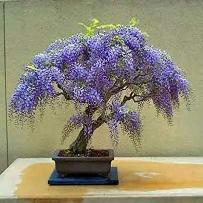 Jacaranda Mimosifolia Ornamental Blue Jacaranda Bonsai Tree 10 Seeds