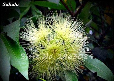 Vente! 100 pcs/sac rares Eucalyptus Graines géant Arbre tropical Graines Angiosperme pour jardin plantation en plein air Bonsai cadeau 16