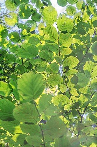 Haselnuss - Corylus avellana Garibaldi - Haselnuss Strauch - Gesamthöhe: 60-80cm Topf: 2 ltr. - 2