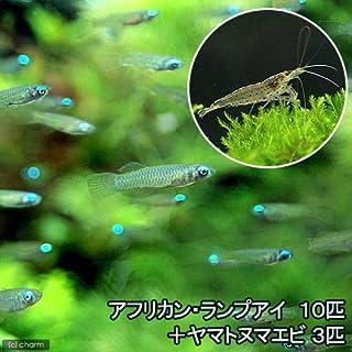 (熱帯魚)アフリカン・ランプアイ(10匹) + ヤマトヌマエビ(3匹) 北海道・九州・沖縄航空便要保温