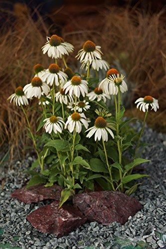 Chapeau de soleil blanc (Echinacea purpurea 'Alba' Pot de 12 cm