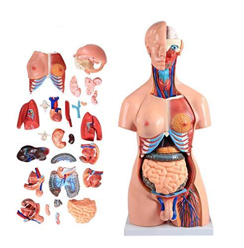 YYSDH 85cm Two-Sexo Torso Modelo (23/40 Partes separadas), Human Torso Altura Modelo extraíble Human órganos del Cuerpo Modelo de anatomía 2020,40 Stück