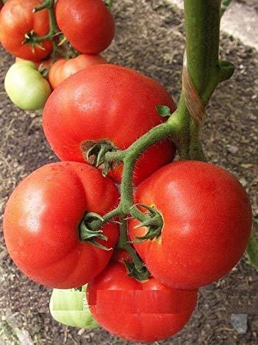 Portal Cool 100 graines: tomate Big boeuf F1 graines hybrides tomates rouges 10 graines ou 50 graines ou 100 graines