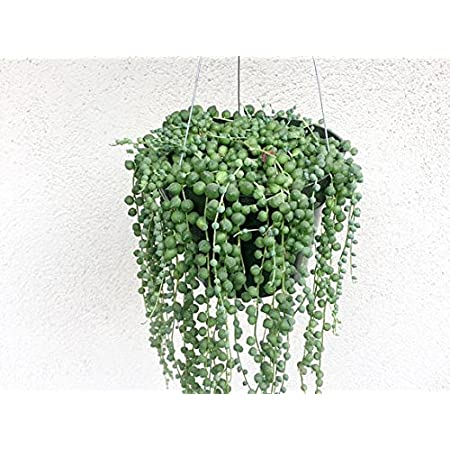 Portal Cool 100Pcs Beads Senecio Rowleyanus Seeds Pearl Chlorophytum Green Flower Plant Pot