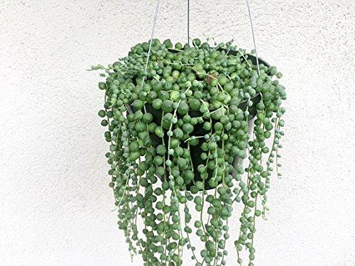 String of Pearls Hanging Basket 6' Pot Succulent Senecio Rowleyanus String of Beads Plant Hanging...
