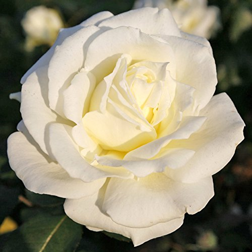 Kordes Rosen Memoire Edelrose, reinweiß mit cremefabenen schattierungen, 12 x 12 x 40 cm