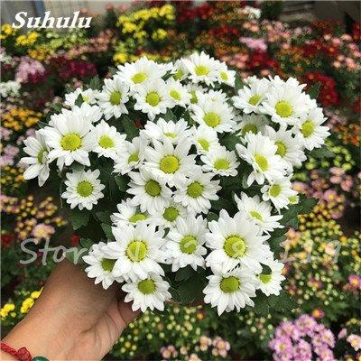 120 pcs graines graines de fleurs Daisy strawberry marguerite, fleurs de saison graines chrysanthème, Bonasi beau balcon fleuri coloré 9