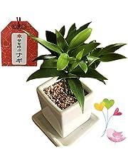 幸せを呼ぶ【なぎの木】梛 ご神木 日本古来の木 良縁 夫婦円満 神の宿る木 新婚祝い 結婚記念日 誕生日 敬老の日 ギフト 観葉植物