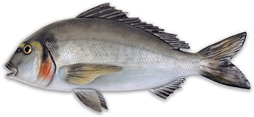 Omer Gilt Head Bream Fish Exposure