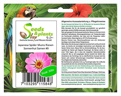 Stk - 100x Japanese Spider Mums Riesen Sonnenhut Blumen Pflanzen - Samen #9 - Seeds Plants Shop Samenbank Pfullingen Patrik Ipsa