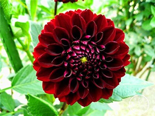 Kalash New 100pcs Dahlia Blumensamen für Garten Red