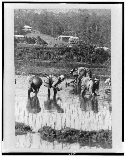 Historic Photos 1890 Photo Filipinos Planting Rice, Philippine Islands Location: Philippines