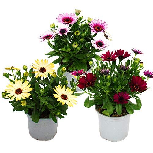 Kapkörbchen - Osteospermum ecklonis - 11cm Topf - Set mit 3 Pflanzen - Farb-Mix