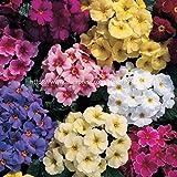 100 Pezzi Europa Primrose Fiore Bonsai Piante Primula Reale Sera Bonsai Fiore per Le Piante da Giardino di casa: Mix