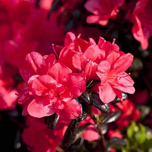Rhododendron obt. \'Maruschka\' Japanische Azalee 20-25cm im Topf gewachsen