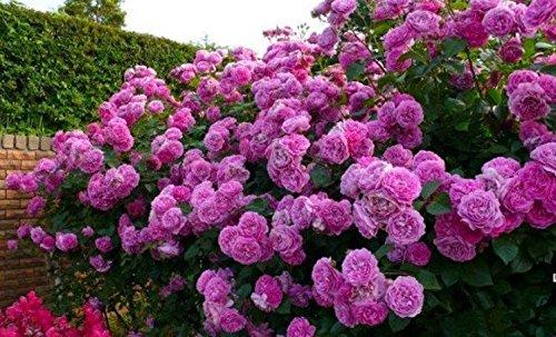 Meilleure vente de haute qualité Bonsai Violet Escalade Rose Seeds Pour jardin 20seeds / bag