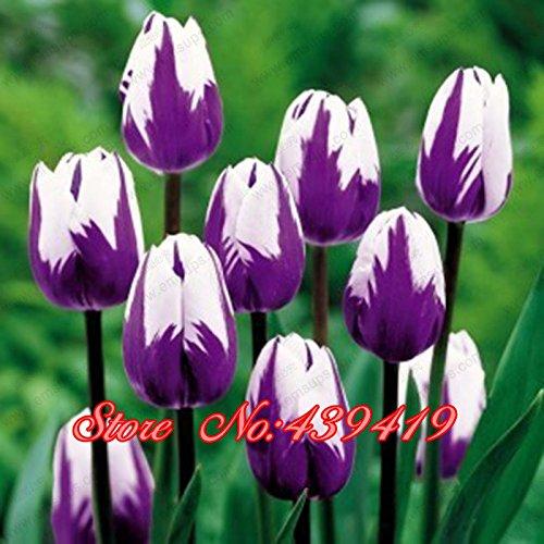 Big Promotion! 100pcs / sac Graines Bonsai Tulip 20 variétés Black Rainbow Violet Bleu Jaune Tulip Flower Garden Seeds Potted Pla