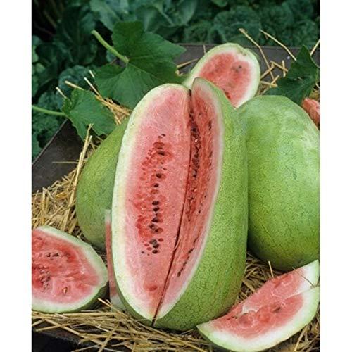 HONIC 50+ Samen: Wassermelone Samen: Charleston Gray. Frische Samen, Baby!