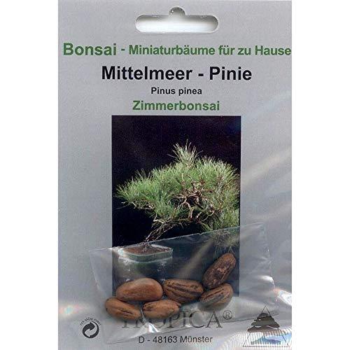 Bonsai - 6 Samen Pinus pinea, Mittelmeer-Pinie, 90035