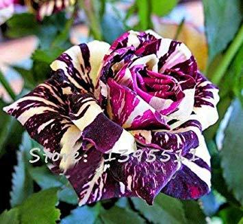 VISTARIC 1bag = 100pcs rares graines de rose, couleur rare, Rose magnifique fleur Accueil & Gardern plantation bonsaïs Graines