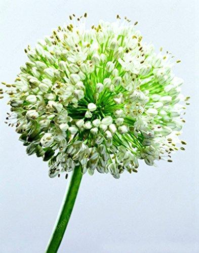 100 Pcs/Sac graines d'oignon exotique géant blanc Allium Graines Multicolor Balcon Fleurs en pot pour jardin