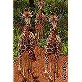 Giraffes: Group of cute walking Giraffes notebook