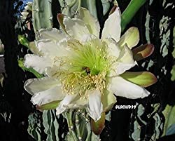 Fruits and stems of Cereus repandus are edible. Its wood has been used in making furniture and for firewood, and sliced stems have been used as a soap substitute. It is cultivated as a living fence also