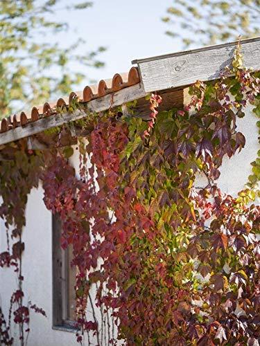 Keland Garten - 50pcs Wilder Wein Rot Kletterpflanzen echt, Blumensamen Mischung winterhart mehrjährig