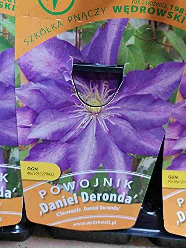 Waldrebe Clematis Daniel Deronda 60-80 cm Kletterpflanze