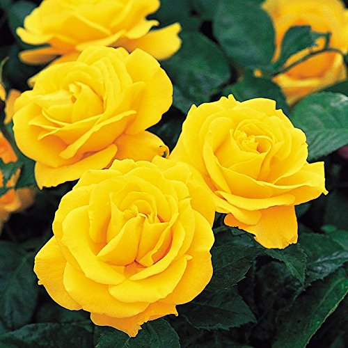 Rose FRAGANT Golden Yellow Rose- Wonderful Rose Gift to Celebrate Birthdays and All Occasions