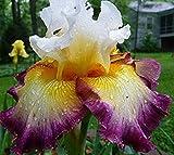 Pretty Bearded Iris, Reblooming German Iris, Color Mix, Fresh Root, Rhizome, Plant, Easy to grow