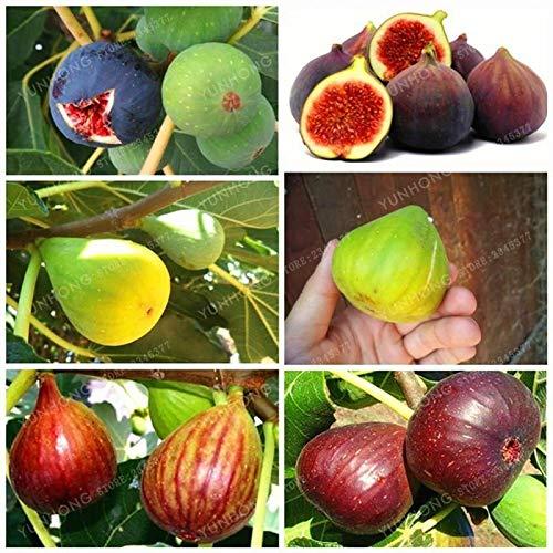 6: 50 PCS Bonsai Tiger Stripe Fig Baumsamen Hof Zierpflanze Evergreen N