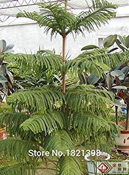 VISTARIC Nouvelle arrivée! 100 Pcs Ginger Graines Balcon légumes en pot Bonsai Graines de plantes Four Seasons Zingiber Plantes Graines, XOYTND