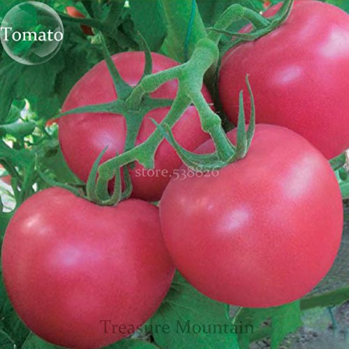 Myliya Rose Big: Heirloom Big Pink Rosy tomate Graines de légumes hybrides, pack professionnel, 100 graines/Pack, Anti Ty Big Fruits Sized