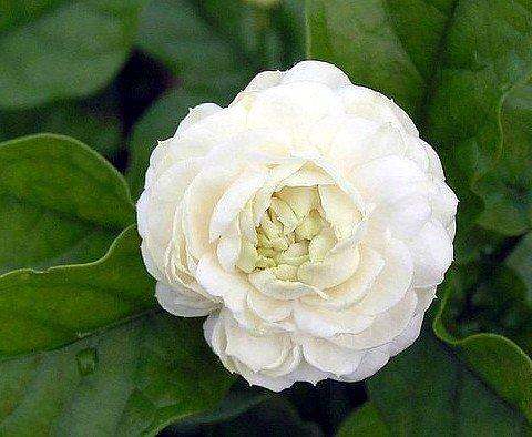9GreenBox - Arabian Jasmine Plant - Grand Duke of Tuscany - Fragrant - 4' Pot