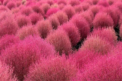 4: 500 Kochia Scoparia Semillas Arbusto Ardiente Hierba Crecimiento rápido Hardy Summer Cypress Jardín rojo Ornamental Easy Grow Bonsai Home Garden