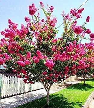 Gartenpflanzen 100 Stück Krepp-Myrte Lagerstroemia Indica \'Natchez\' Myrtle Blumen Pflanze Hof Pot Bonsai Strauch: 7