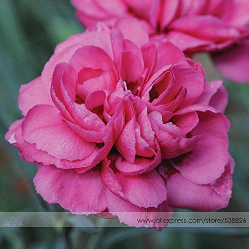 de les Senteurs de Summer Rose Pivoine 'Hardy vivaces Dianthus Seeds Carnation Fleur, Paquet professionnel, 50 graines / Pack, Fragrant