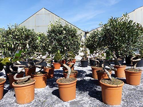 Bonsai Spirale Pon Pon Olivenbaum, Olive winterhart, Formschnitt Olea europaea