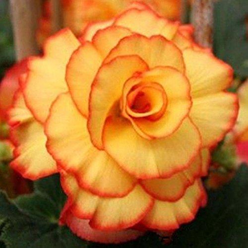 Yukio Samenhaus - 50 Stück Riesen Terrassen-Begonie gefüllt großblumig Samen Blumen Saatgut pflegefrei als Topfpflanze, für das Beet, Balkonkästen und Schalen