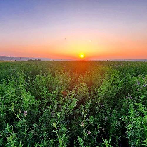 Alfalfa Seeds- Farmer Direct USA Grown- Premium Certified Clean Alfalfa Seed - 25 LBS - High Germination, Conventional Alfalfa Seed -Garden Seed, Cover Crop, Field Growing, Alfalfa Hay, Alfalfa Honey